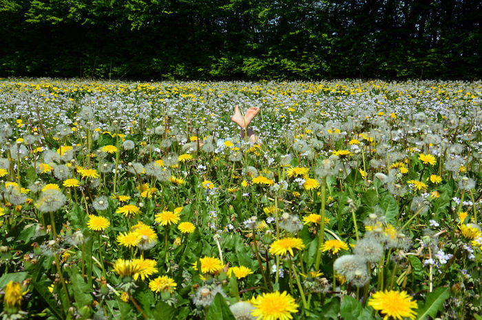 Bare Feet Blossom Dandilion  Dandilion Seed Flower Field Flower Head Flowerbed In Bloom Mindfulness Outdoors Relaxing Summer Summertime Tranquility Vacation Yellow in Vejle Denmark