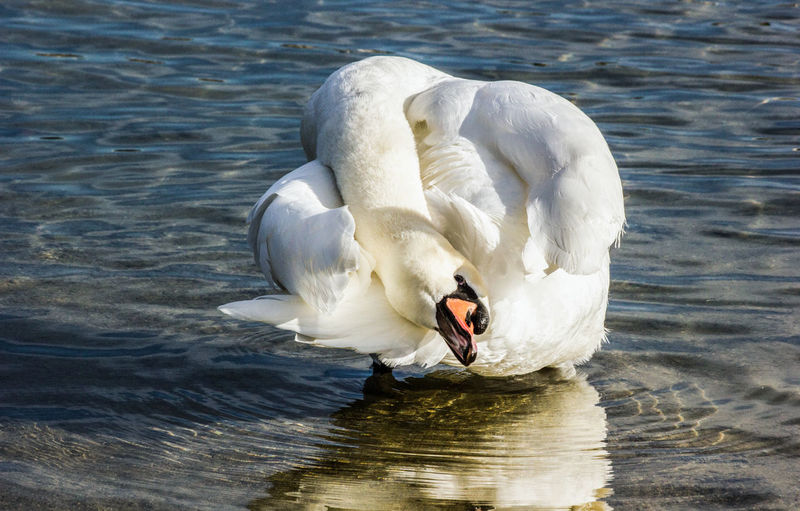 Beautiful Swan Bird Photography Day Having A Clean Having A Stretch Lake Nature Photography Nature_collection Swan Yoga Water White Bird