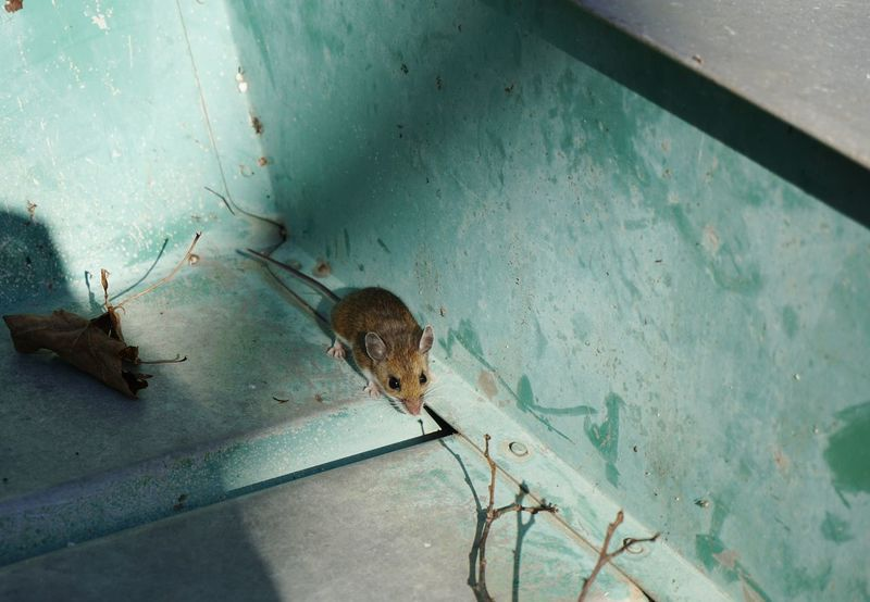 Field mouse. We found this little mouse in our row-boat when we turned it over this spring. Mouse Field Mouse Animals Rodent
