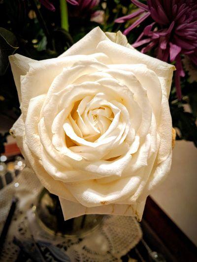 English Rose White Rose Dwindling Floral Petals🌸 Beautiful Nature Nanashouse Flower Petal Flower Head Nature Rose - Flower Beauty In Nature Fragility Close-up