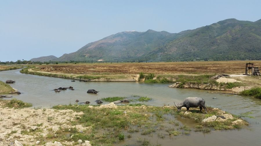 Water Buffalo In River