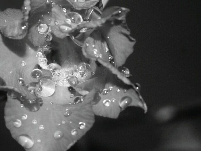 Adenium macro drops EyeEm Indonesia EyeEm Best Shots - Black + White EyeEm Bnw EyeEm Macro Macro_perfection Macro_flower Macroporn Macro Photography Black And White Collection  Flowerporn