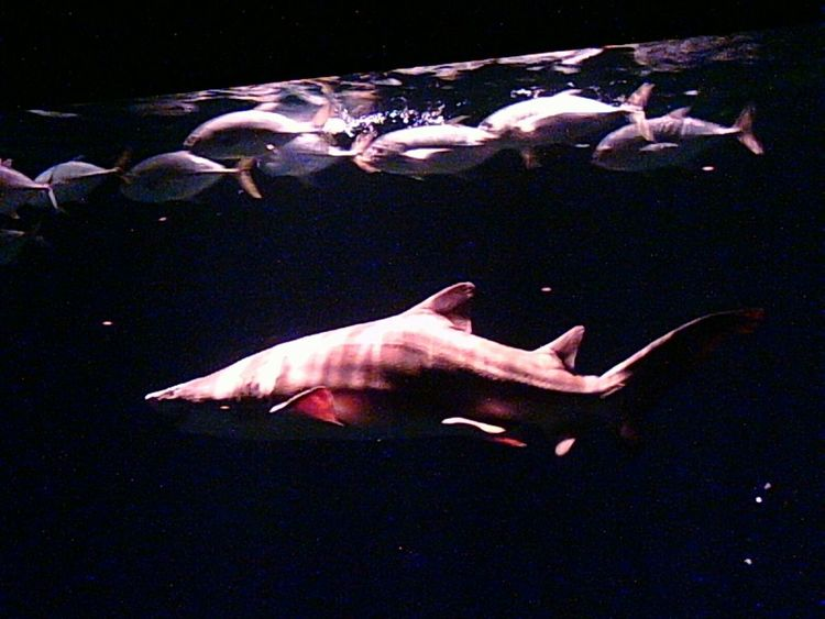 Fush swimming with shark Shark Sharks Predators Sealife Shark Tank Aquarium Sharktank Fish