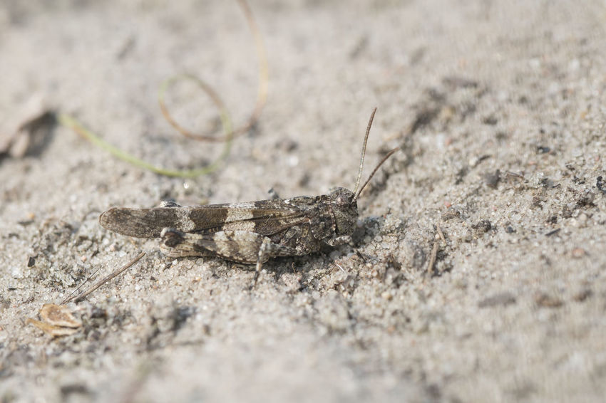 Blue-winged grasshopper - Oedipoda caerulescens Animal Themes Animal Wildlife Animals In The Wild Blue-winged Grasshopper Close-up Day Insect Nature No People Oedipoda Caerulescens One Animal Outdoors Sand Selective Focus