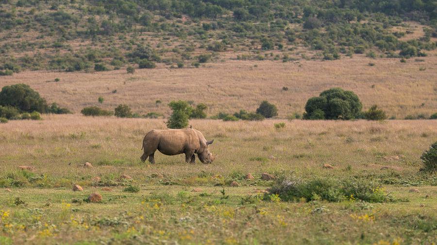 A lonely rhino