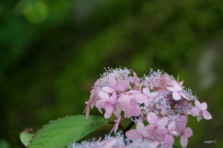 雨の朝、せわしなく行ってきます(^-^ゞ あじさい ボケ味ふぇち EyeEm Flower Flower Collection Hydrangea The Purist (no Edit, No Filter) EyeEm Nature Lover Kagoshima *CHIE*