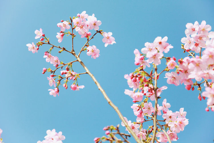 flowers Photography Photo Forest Travel Photography Travel Nature Nature Photography Nature_collection Naturephotography Nature_perfection Flowers Flowers,Plants & Garden Flowers, Nature And Beauty Flowers_collection Flower Tree Flower Head Branch Clear Sky Pink Color Springtime Blossom Sky Close-up