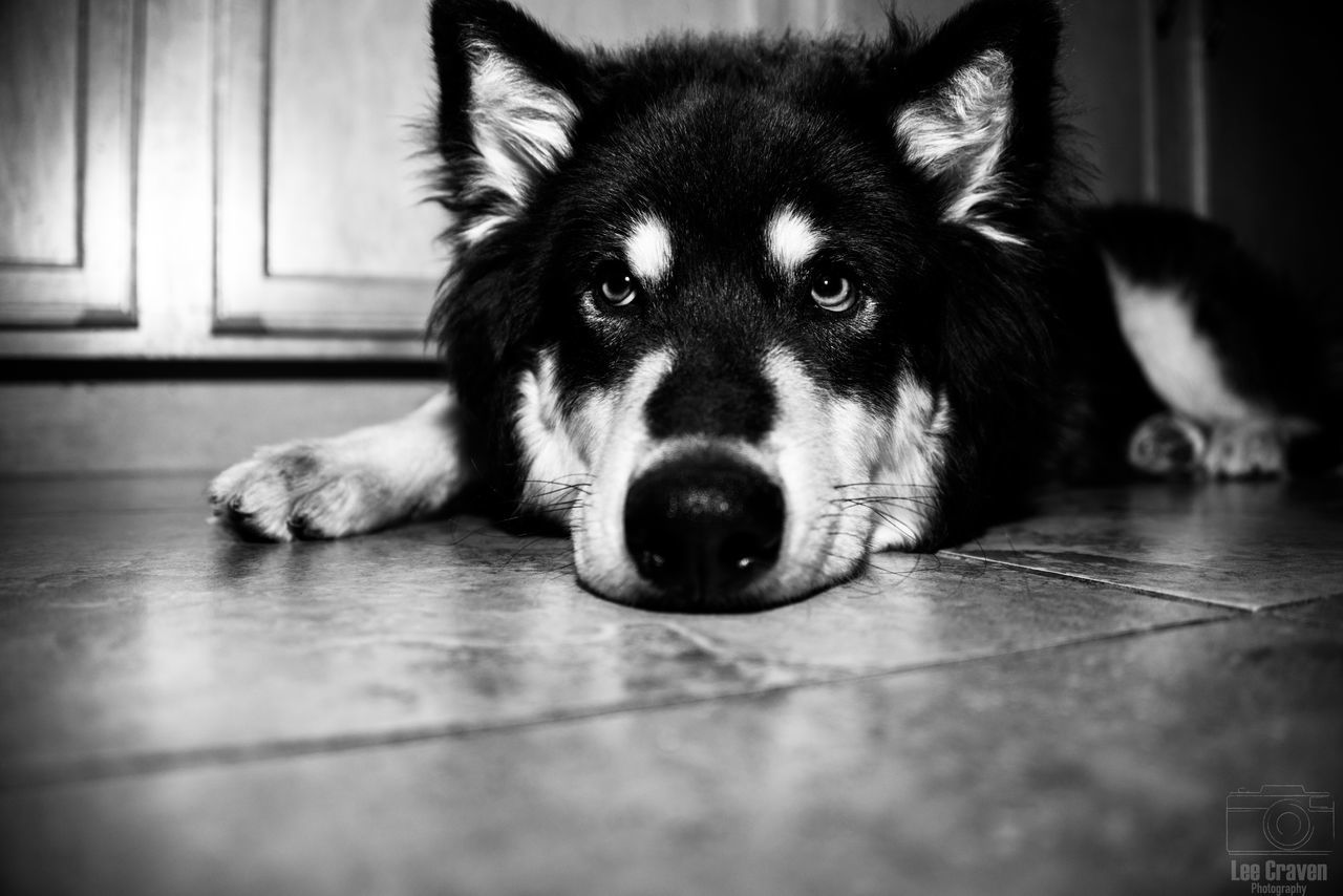 pets, one animal, domestic animals, dog, animal themes, mammal, indoors, looking at camera, portrait, lying down, home interior, no people, close-up, day