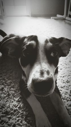 Borys Z3compact Dog Saddog Blackandwhite Bw2filter At Home Animals Photographic Memory