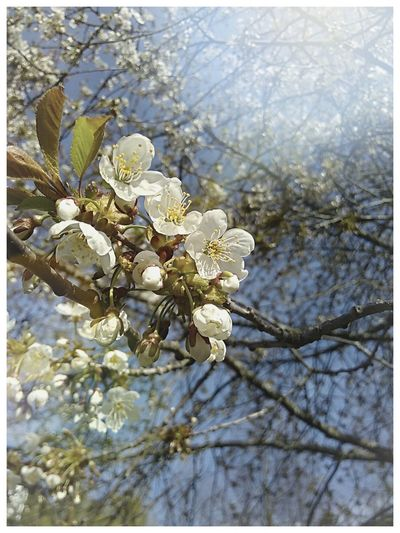 Flower Nature Springtime Beauty In Nature Beautiful Day Cherry Blossoms