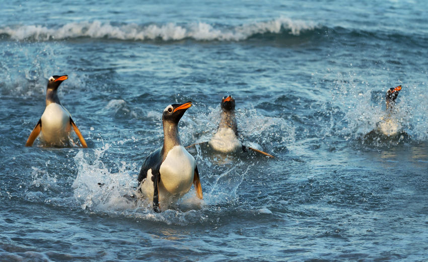 Penguins swimming in sea