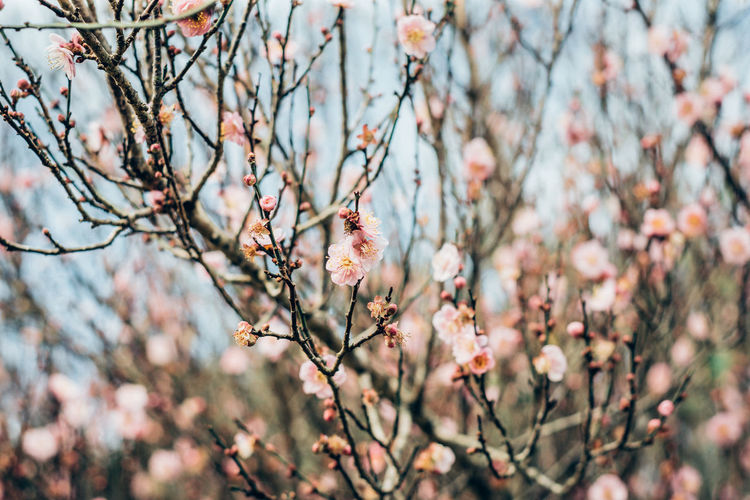 Flower Flowering Plant Beauty In Nature Branch Plant Tree Fragility Springtime Growth Vulnerability  Nature Freshness Blossom Pink Color Cherry Blossom No People Outdoors Cherry Tree Sakura Close-up