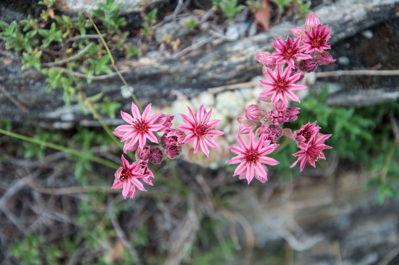 Alpine Flora Alpine Flower Beauty In Nature Bergwurz Blooming Close-up Day Flower Flower Head Fragility Freshness Growth Nature No People Outdoors Petal Pink Color Plant