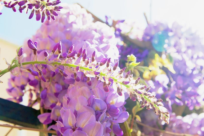 Background Beauty In Nature Botany Close-up Day Flower Flower Head Flowering Plant Fragility Freshness Full Frame Full Length Growth Lilac Nature No People Outdoors Petal Plant Purple Selective Focus Springtime Vulnerability