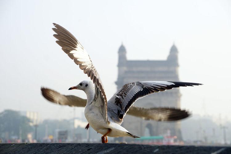 Seabirds Birds Seagulls In Flight Seagulls And Sea Seagulls Nature Day No People Seagull Water Vertebrate Bird Animal Animal Themes Animals In The Wild Animal Wildlife Seagull In Gateway Of India