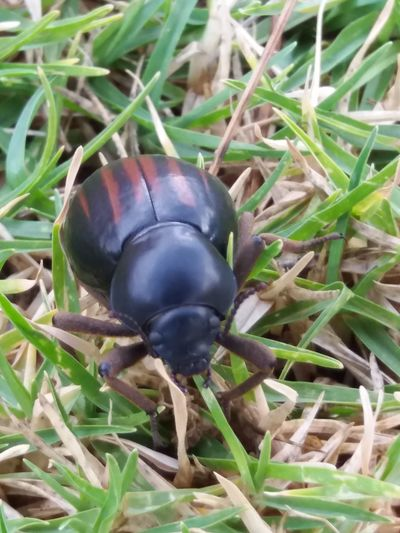Beetle on the run Beetle Closeup Shiny Black Wit Red Insect Photography Feeding On Grass Hard Body Green Grass In Nature Daytime Outdoor Photography No People Throughmyeyes