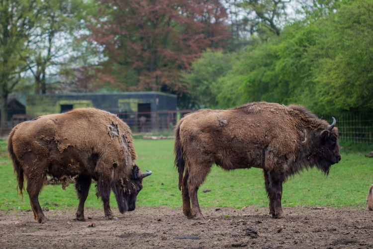 Bison standing on field at zoo