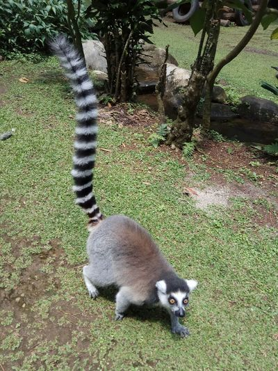 Ring-tailed