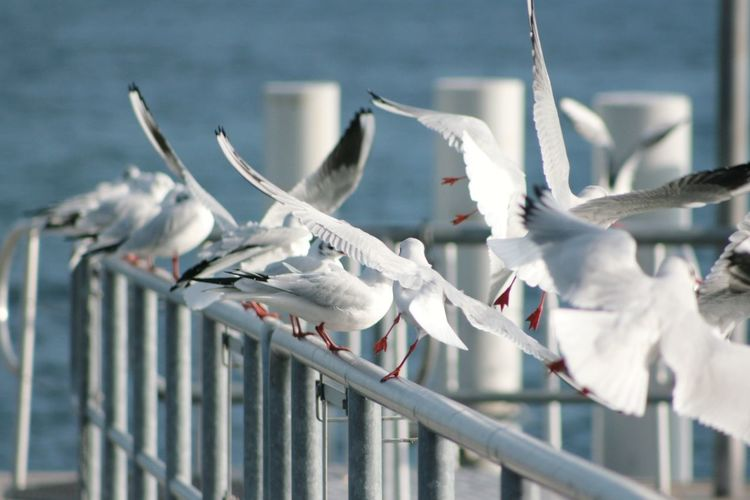 Mouettes Gulls