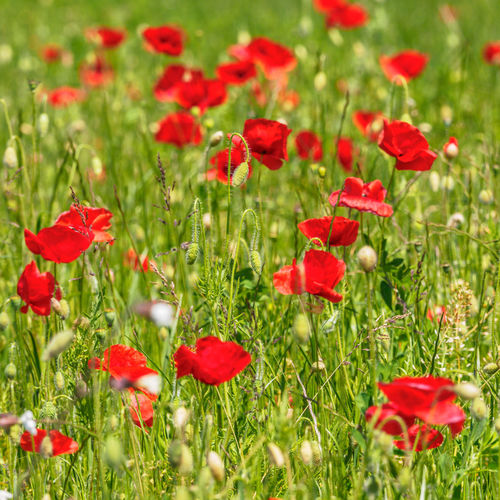 Close-up of red poppy flowers in bloom