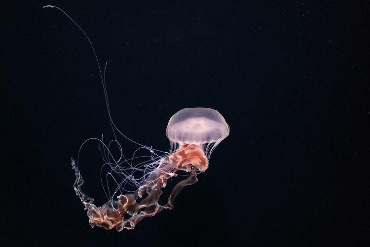 Aquarium Illumination Jellyfish No People One Animal Sea Life Tentacles Transparent Underwater