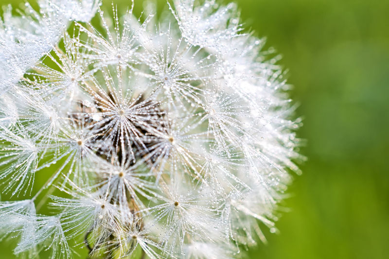 Same dandelion that I shot yesterday but with todays dew! Beauty In Nature Close-up Dandelion Day Fragility Freshness Macro Macro Photography Macro Photography Flower Morning Dew Nature Nikon D810 No People Outdoors Plant