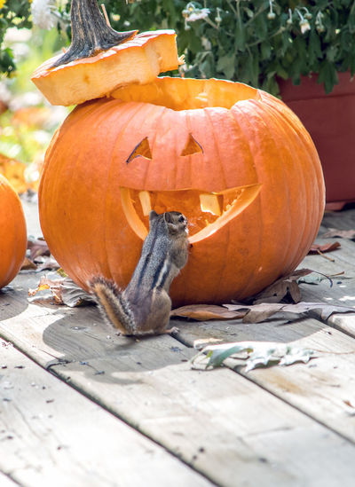 A tiny, cute chipmunk checks out this grinning jack o lantern as a possible new home