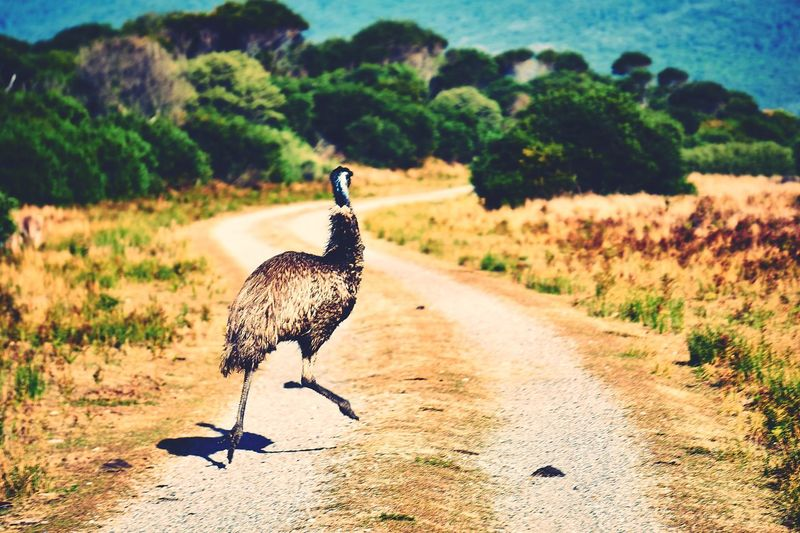 Rear View Of Ostrich Running On Country Road