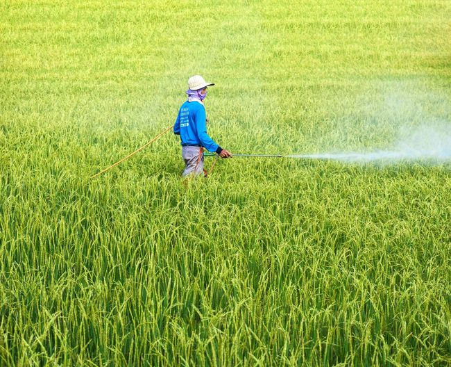 Farmer spraying pesticide in rice field Farmer Spraying Rice Field Work Rice Field Work Grass Green Color One Person Plant Childhood Land Real People Nature Field Growth Men Outdoors Sunlight