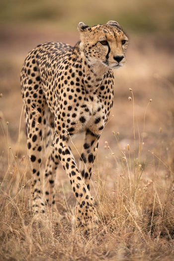 Cheetah walks through long grass lifting paw Africa Kenya Kicheche Masai Mara Savannah Savanna Safari Nature Travel Predator Cat Big Cat Acinonyx Jubatus Mammal Animal Wildlife