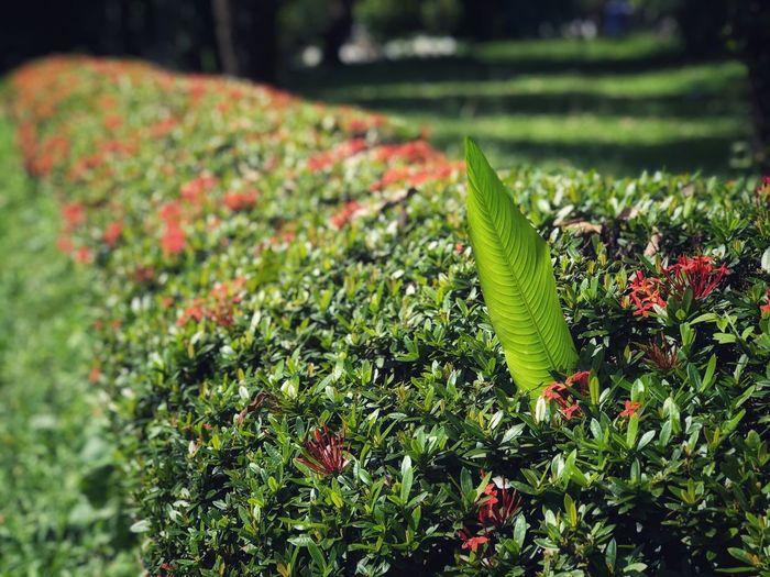 Leaves of