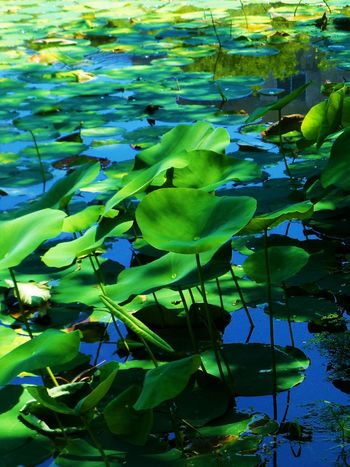 Lilly pad pond at Indiana University Beauty In Nature Bloomington, Indiana Day Floating On Water Green Green Color Hidden Gems  Indiana University Lake Leaf Leaves Lilypads Lotus Water Lily Nature Outdoors Plant Pond color palette Pond Life Tranquil Scene Tranquility Water Water Lily Water Reflections Showcase July Visual Creativity The Great Outdoors - 2018 EyeEm Awards