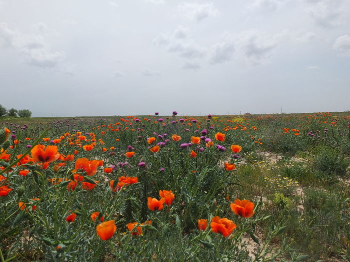 Plant Beauty In Nature Sky Flowering Plant Flower Growth Freshness Nature Land Vulnerability  Field Fragility Landscape Cloud - Sky No People Tranquility Environment Tranquil Scene Scenics - Nature Day Flower Head Poppy Outdoors Flowerbed Orange