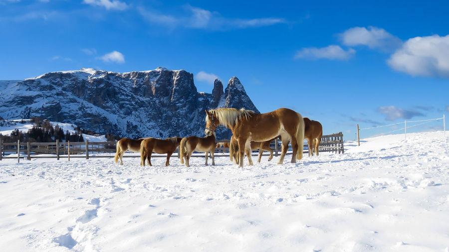 Trentino Alto Adige Südtirol Travel Destinations Travel Photography Canon Seiseralm Visit Italy Nature Animal Themes Domestic Animals Outdoors Sky Animal Wildlife No People Landscape Snowcapped Mountain Frozen Rural Scene