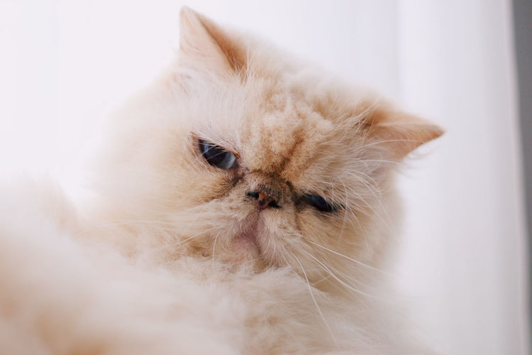 Processed with VSCO with c6 preset Domestic Pets Domestic Animals Mammal Domestic Cat Animal Themes Animal One Animal Cat Persian Cat  Feline Indoors  Vertebrate White Color No People Close-up Looking Away Looking Whisker Home Interior Animal Head  Animal Eye