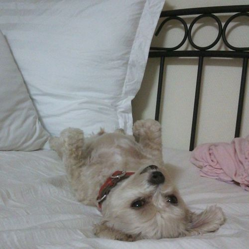 愛犬 日常 犬 Dog ペット家族寝る態勢私はいつも仰向けです
