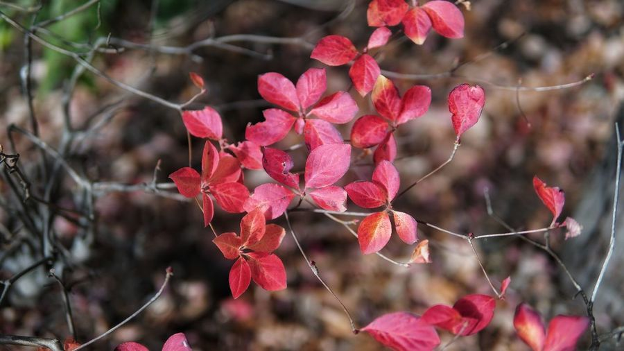 Autumn Autumn colors Autumn Leaves autumn mood Red Leaves Fall No People No Person Day Flower Tree Flower Head Red Pink Color Close-up Plant Magenta Autumn Collection Fallen Change Leaf Vein Season