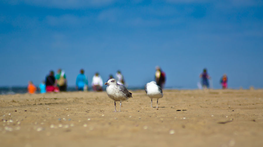 Seagull at the hot summer beach with people in the background.