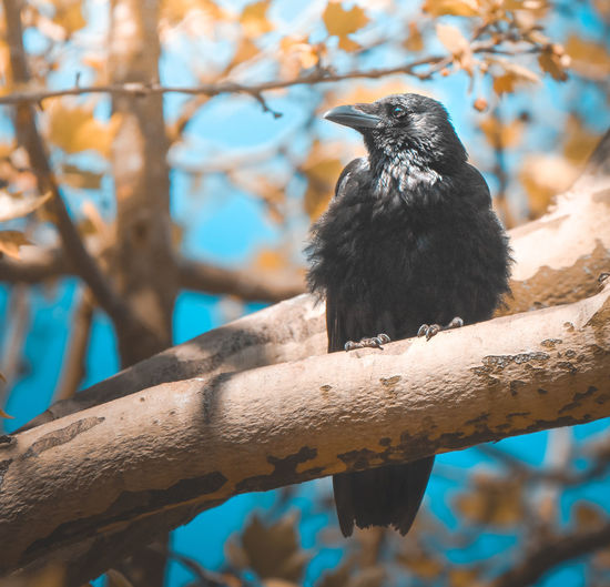 EyeEm Best Shots EyeEm Nature Lover EyeEmNewHere Raven Animal Animal Themes Animal Wildlife Animals In The Wild Bird Black Color Branch Crow Day Focus On Foreground Looking Looking Away Low Angle View Nature No People One Animal Outdoors Perching Plant Tree Vertebrate