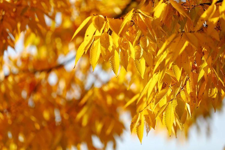 참으로 색 좋은 가을 빛 노랑 . . #하루한컷 #하늘공원 #노란색 #단풍 #가을 #5DMARK4 #새아빠백통 #EF70200F28LIIISUSM Tree Leaf Autumn Yellow Branch Change Close-up Plant Sky