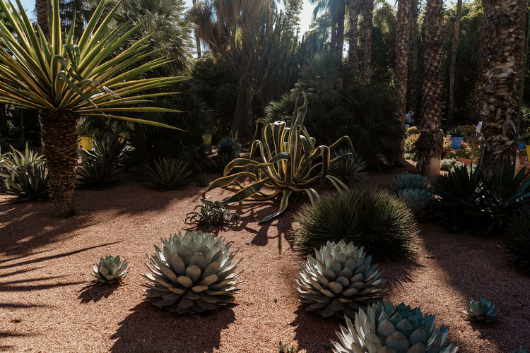 Marrakesh Marrakech Tourist Attraction  Travel Destinations Travel Photography Morocco Plant Growth Nature Tree Succulent Plant Cactus No People Spiked Thorn Day Beauty In Nature Barrel Cactus Tranquility Sunlight Outdoors Tranquil Scene Needle - Plant Part Green Color