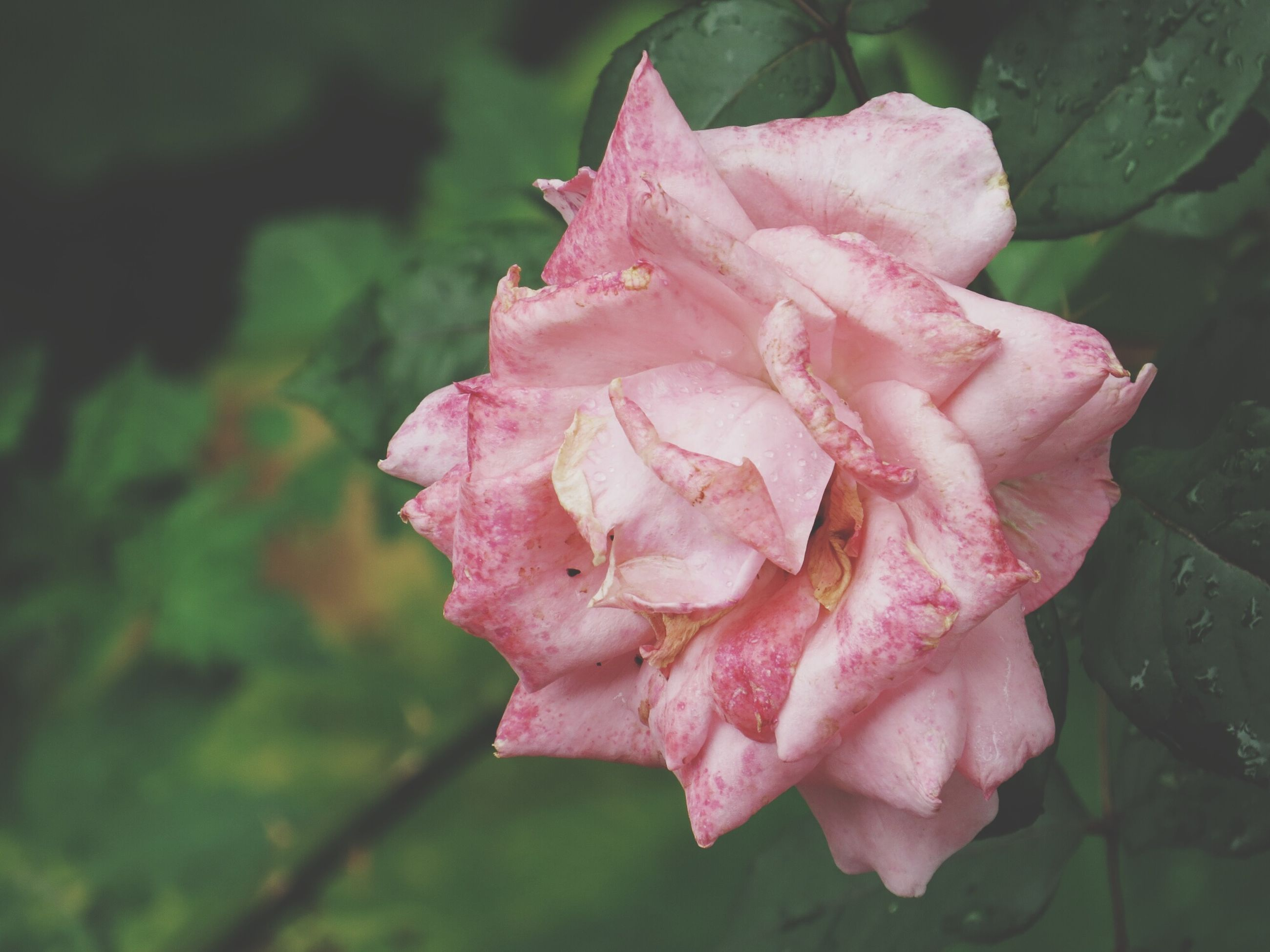 flower, petal, freshness, fragility, flower head, rose - flower, close-up, growth, beauty in nature, single flower, focus on foreground, pink color, nature, drop, blooming, wet, plant, water, in bloom, rose