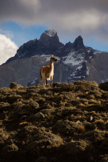 Sheep standing in a mountain against sky