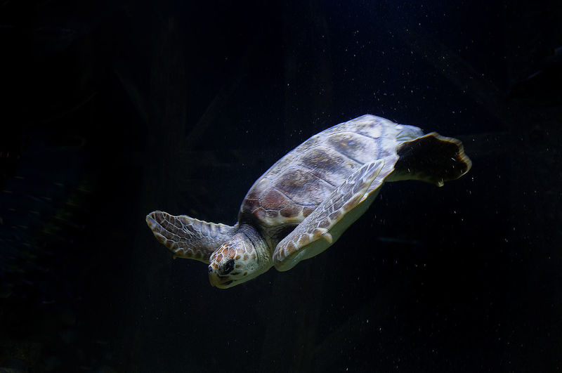 Close-up of turtle swimming in fish tank at aquarium