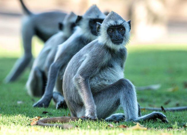 Grey faced langur monkey, Sri Lanka Animal Themes Focus On Foreground Animals In The Wild Mammal Animal Wildlife No People Grass Day Primate Outdoors Nature Monkey Sri Lanka EyeEmNewHere