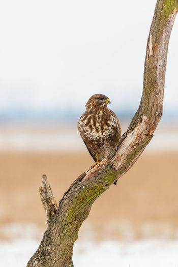 Common Buzzard Buzzard  Buteo Buteo Bird Of Prey Prey Predator Bird