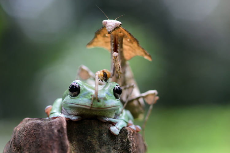 tree frog and mantis Close-up Animals In The Wild Focus On Foreground Animal Wildlife Animal Themes Nature Animal Day No People Invertebrate Group Of Animals Selective Focus Insect Plant Two Animals Zoology Outdoors Green Color Tree
