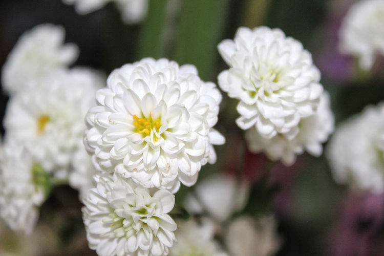 Beauty In Nature Blooming Blossom Botany Close-up Favorite Flowers Freshness Growth Indoors  Ornamental Petal Plant Softness Stamen White