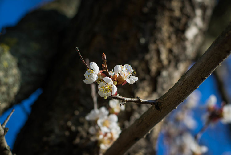 Flowering Plant Flower Plant Fragility Beauty In Nature Growth Tree Vulnerability  Freshness Blossom Branch White Color Close-up Nature Springtime Focus On Foreground Day No People Petal Sunlight Flower Head Pollen Outdoors Cherry Blossom Cherry Tree