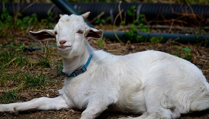 White baby goat in Richmond, Virginia Day Domestic Animals Goat Kid Mammal No People One Animal Outdoors Pjpink White